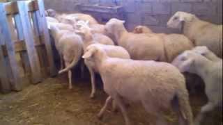 Πρόβατα Λακόν (Θεσσαλονίκη)