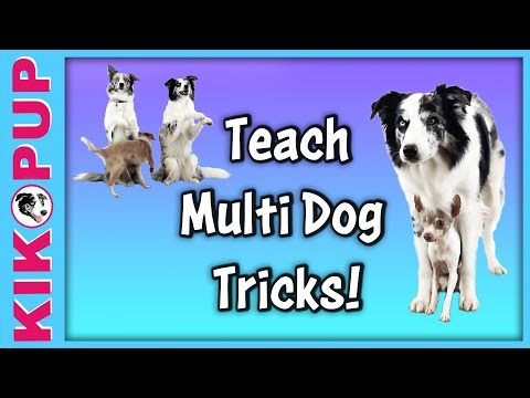 Multi dog tricks! How to train multiple dogs