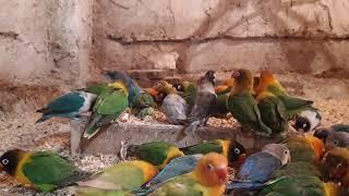 попугаи неразлучники фишера.масковые.совместная зимовка //parrots lovebirds.mask.fisher