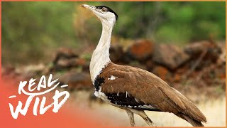 The Indian Bustard: A Dying Breed (Wildlife Documentary) | On The Brink | Real Wild