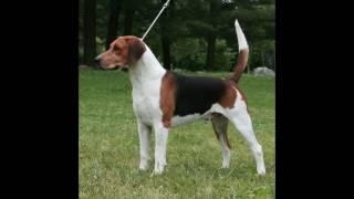 Порода собак: Американский Фоксхаунд. Вот как и обещала второе види...