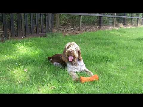 German Wire Haired Pointer Suggs.