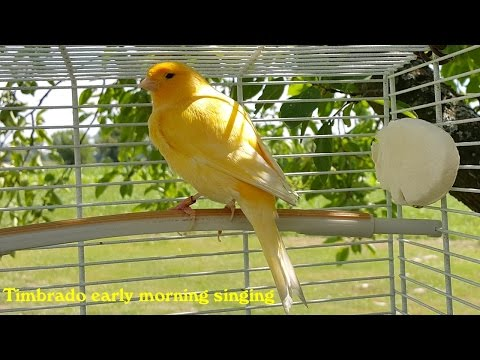 Canary Training Video (Timbrado early morning singing)
