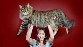 ТОП-10 самых больших пород кошек в мире