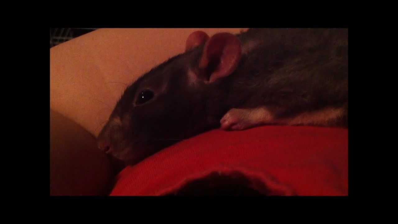 Pet rat making throwing up sound?   Yahoo Answers  Rat Vomit