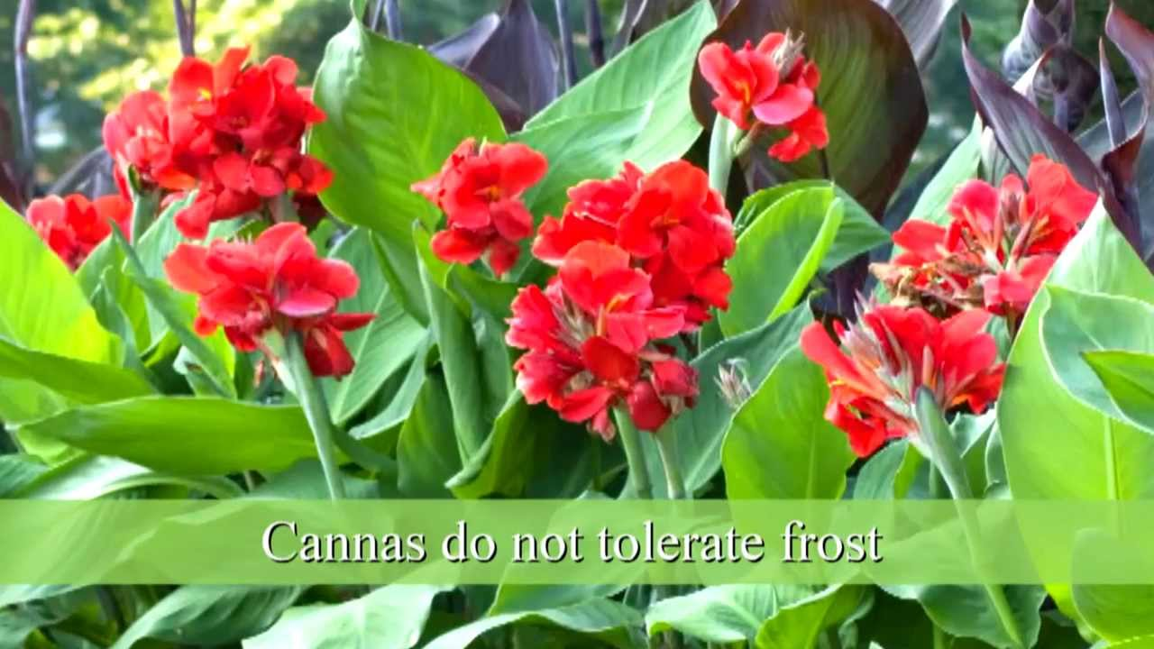 How to plant canna bulbs youtube izmirmasajfo Images