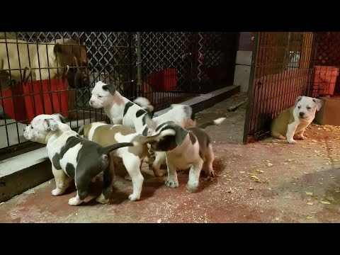 American Bully Puppies 7 weeks old