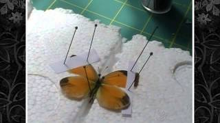 How To Spread Your Butterflies (Lepidoptera)