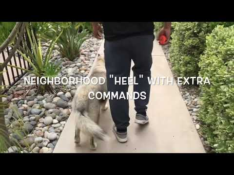 Kyro   Siberian Husky   Hollywood Hills, CA
