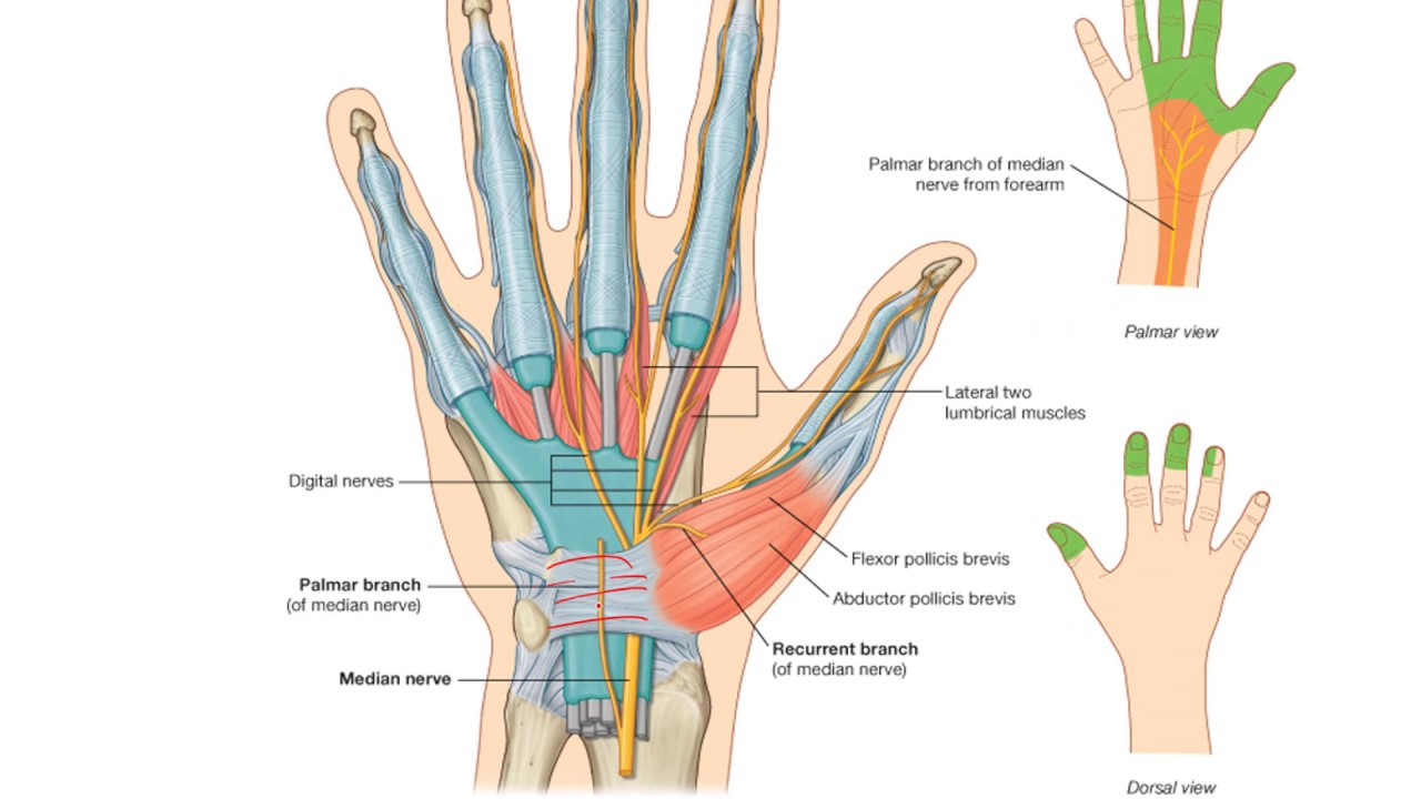 Anatomy 2 U2 L19 Nerves Of The Forearm And Hand Youtube