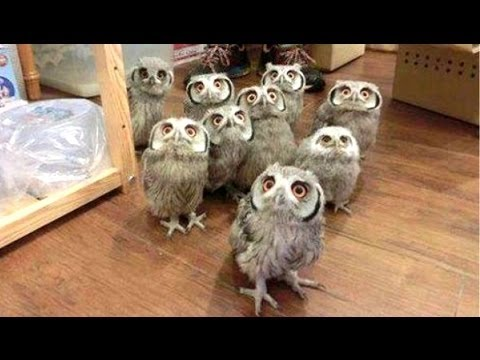 Смешные совы -