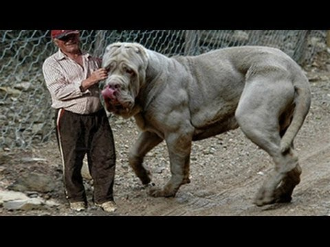Giant dogs of the world part 1!!!