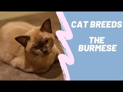 THE BURMESE CAT  CAT BREEDS