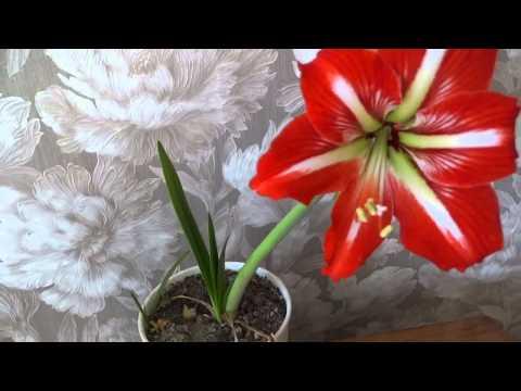 Чудо! Растения слышат! Хотите, чтобы ваш цветок зацвел-смотрите видео!