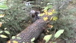 German Shorthaired Pointers Pheasant Hunting Winnie Brier Point Elm Street Nh