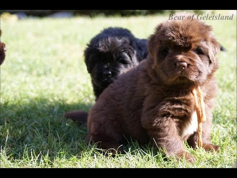 Bear of Geletsland ,newfoundland dog puppies,Puppies - 6 weeks