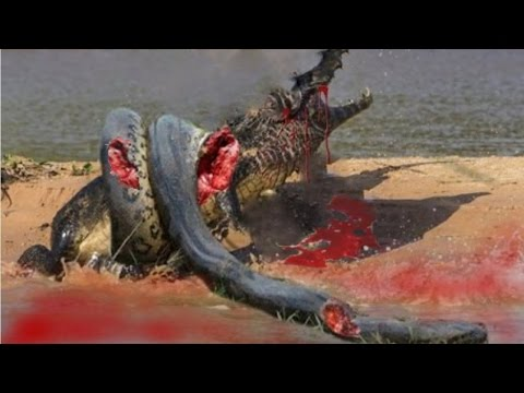 Crocodile vs  giant   anacondas conflict on the Amazon River!