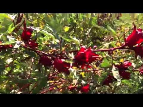 R colte de l 39 oseille de guin e hibiscus youtube - Planter de l oseille ...