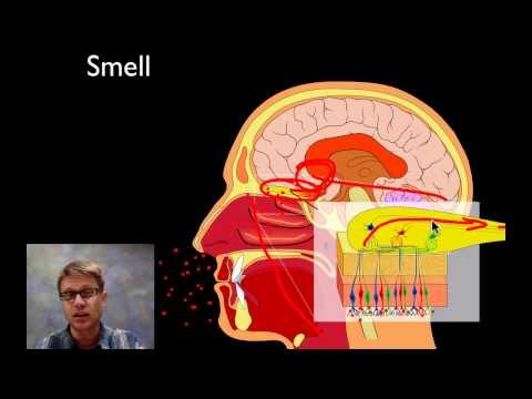 The Sensory System