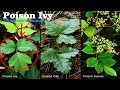 ⟹ POISON IVY | Toxicodendron radicans | Is it edible?
