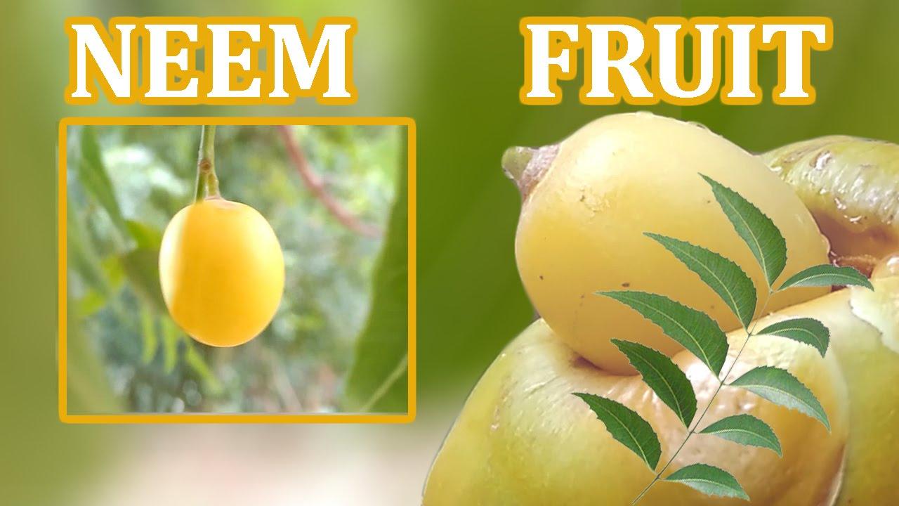 NEEM FRUIT / neem seed / neem oil - full details