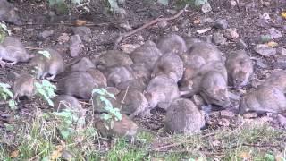 Brown Rats at Attenborough Nature Reserve, Nottinghamshire - 15th November 2014