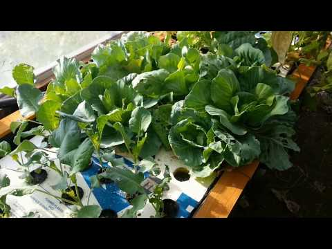 Growing Aquaponic Cabbage
