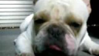 フレンチブルドッグのミルコ、氷は冷たくてウマいなー [French bulldog,...