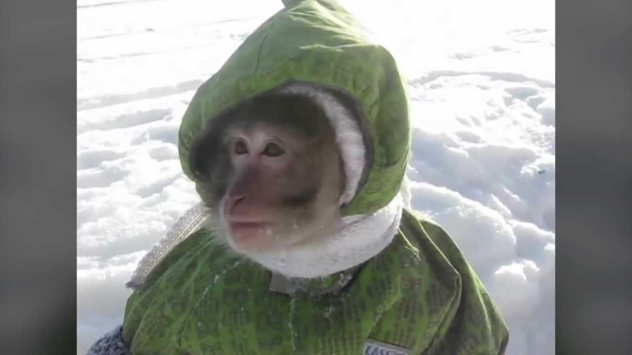 Картинки обезьяна в шубе