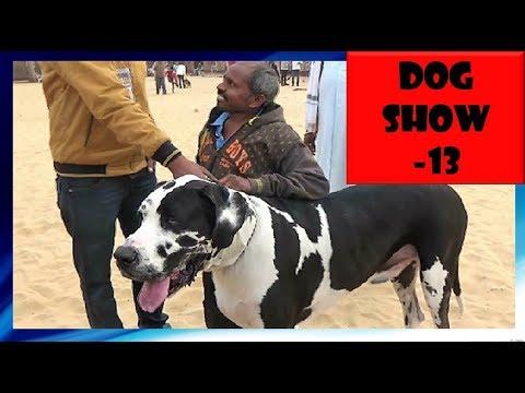 Ajmer Dog Show अजमेर डॉग शो  Harlequin Great Dane Winner : India KC Show