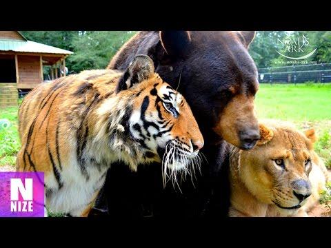 Tiger, Bär und Löwe - Eine Unglaubliche Tierfreundschaft