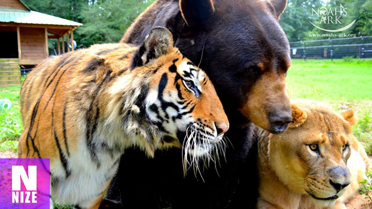 Tiger B 228 R Und L 246 We Eine Unglaubliche Tierfreundschaft