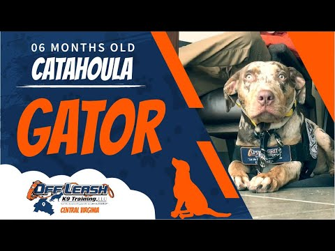 6 Mo. Old Catahoula (Gator) | Aggressive Dog Trainers Fredericksburg | Best Dog Training Virginia