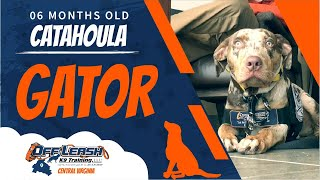 6 Mo. Old Catahoula (Gator) | Aggressive Dog Trainers Fredericksburg | Best Dog Training Virginia