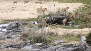 Lions trap an impala in a dam