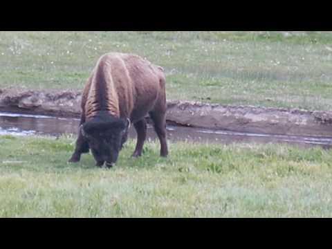 Yellowstone Bison, 2016.