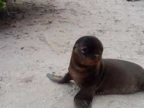 cute baby sea lion in the galapagos youtube