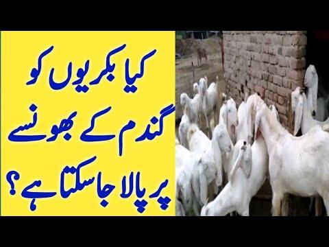 goat-food-|-goat-dry-feed-formula-|-best-food-for-goats-|-urdu-hindi