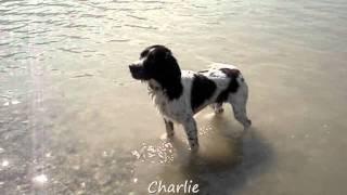 Charlie Il Mio Springer Spaniel Inglese