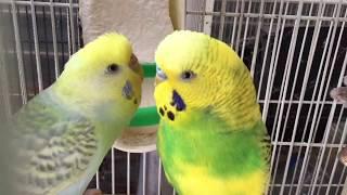 Budgie/Parakeet Breeding Pair(Волнистых попугаев)