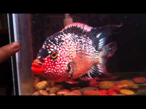 Red Texas ( Cichlid )