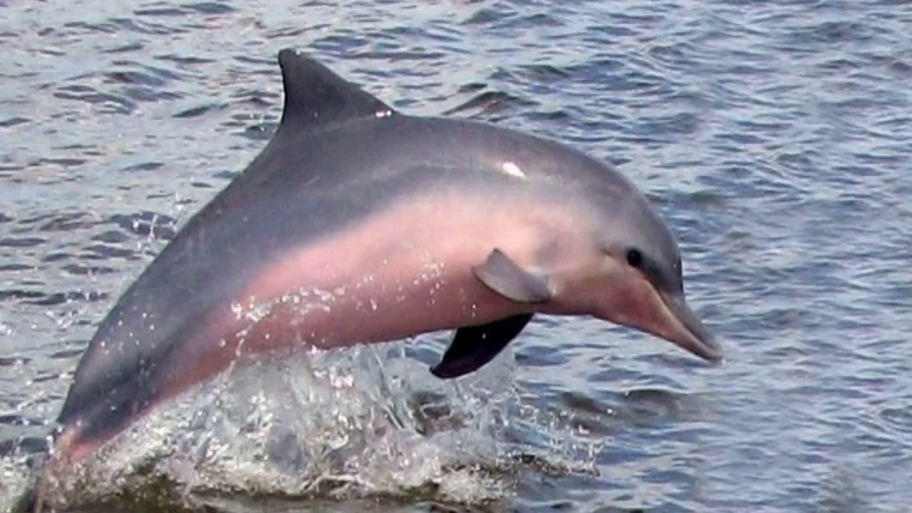 dolphins in amazon river