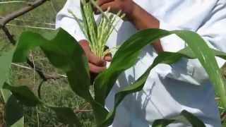 production technology , cultivation of baby corn(detassling)