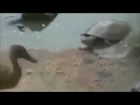 Se la trago inche tortuga