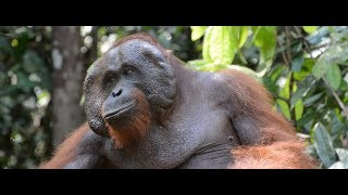 Journey to the Orangutans
