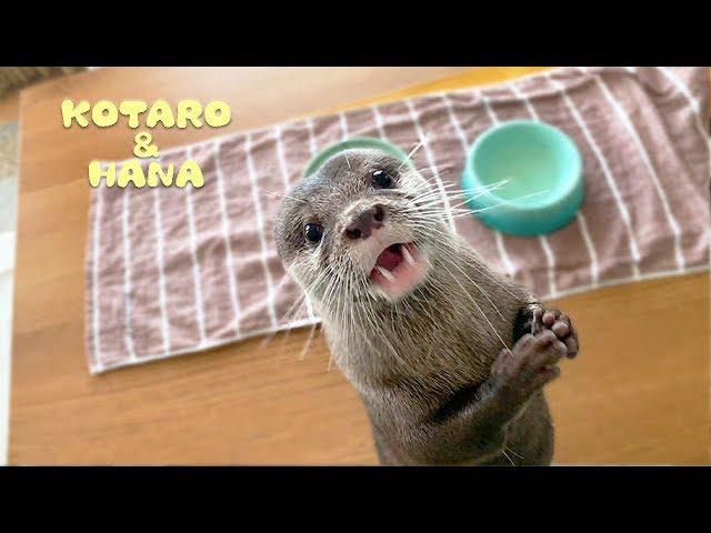 カワウソコタローとハナ アップでかわいい!おやつをもらった時の嬉しそうな顔 Otter Kotaro&Hana Enjoying Snack Time