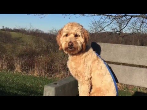 1 Year Old Mini Goldendoodle 'Sofie' Before/After Video | Top Rated Dog Trainers in Pittsburgh