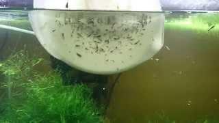Taiwan Bee Baby Shrimps
