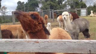 Funny Alpaca Spitting Competition