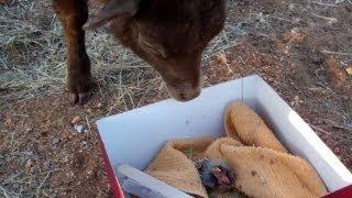 Baby bird thinks lamb is his mom